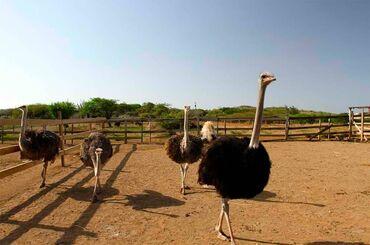 Животные - Каирма: Страусы семья, возраст 3года-две Самки и один самец, есть 2 семьи