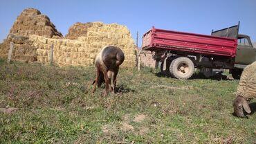 Продаю | Овца (самка), Ягненок, Баран (самец) | Гиссарская | Для разведения | Племенные