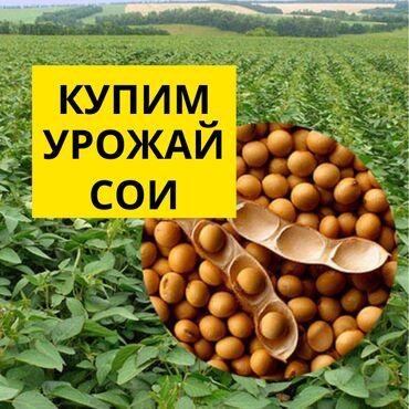 934 объявлений: «Аталык» закупает урожай сои и кукурузы 2021 года большие обёемы