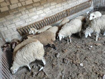 quzular - Azərbaycan: Quzular satilir. Texmini temiz eti 11kq-18kq arasi 0lar.Diri ceki 6