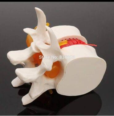 Медтовары - Кок-Ой: Человеческий анатомический Скелет спина поясница дисковая грыжа