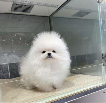 Τα κουτάβια Pomeranian επικοινωνήστε μαζί μας απευθείας στο