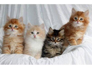 Γατάκια της Σιβηρίας. Αυτά τα γατάκια είναι όμορφα μέσα και έξω. Έχουν