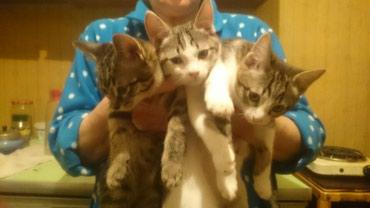 Отдаю котят, им 2 месяца,  кушают все к в Лебединовка