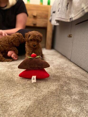 Παιχνίδια Poodles κουτάβιατο σπίτι της οικογένειάς μας