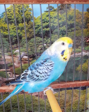 yuva - Azərbaycan: Mavi erkeydı sarı dişidi hazır bala veren quwlardı yuva qoyan kımı