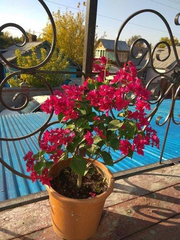 ЦВЕТЫ!!! много молодых растений различных комнатных растений! пишите н в Бишкек - фото 7