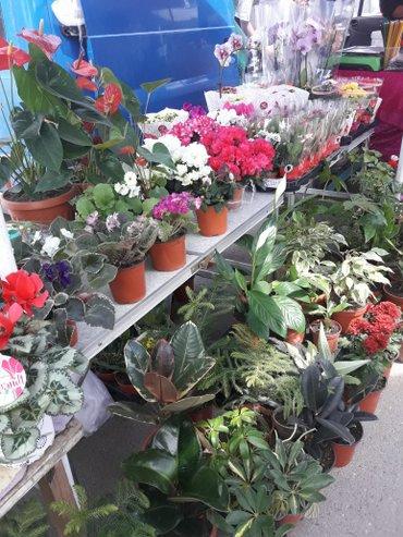 комнатный цветок - это замечательный подарок для ваших любимых , котор in Бишкек