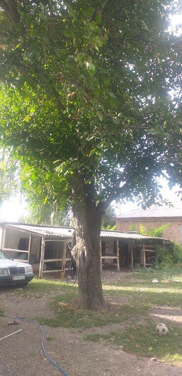 Ремонт и строительство - Беловодское: Продается дерево греческого ореха,70 лет