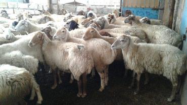 Cəlilabad şəhərində Kənd təsərrüfatı heyvanları