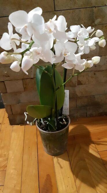 Kuća i bašta - Veliko Gradiste: Midi bela orhid