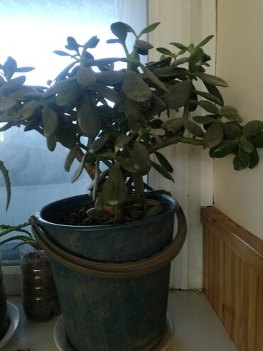 64 объявлений: Денежное дерево