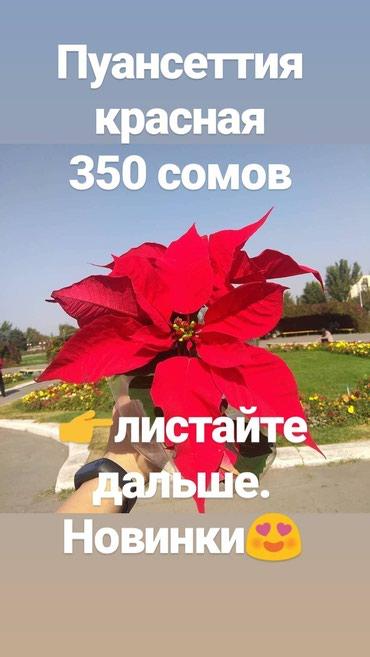 Комнатные цветы: около 50 различных в Бишкек