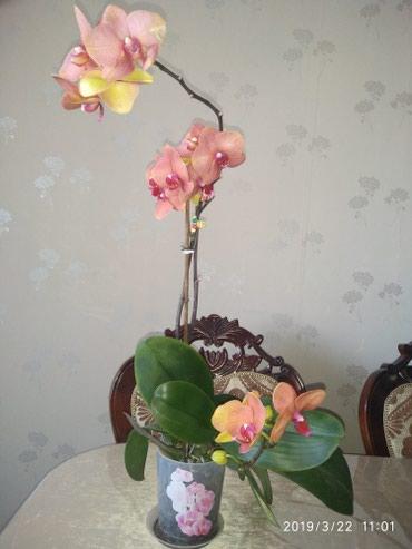 Продаются Орхидеи в Бишкек