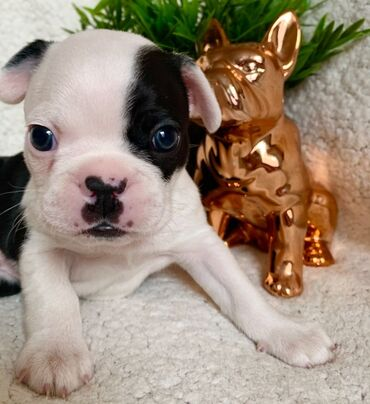 Kc Εγγεγραμμένοι Boston TerriersWhatsapp (+)Είμαστε υπερήφανοι που