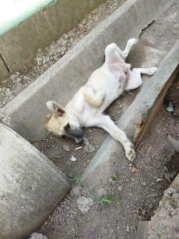 Животные - Кировское: Крупный бежевый щенок, кабель для частного дома. От глистов обработан