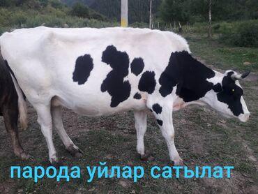 Животные - Кок-Джар: Продаю | Корова (самка)