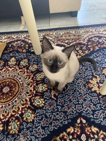8 объявлений   ЖИВОТНЫЕ: В связи с выездом Продаю кошку по имени Шакира сиамской породы