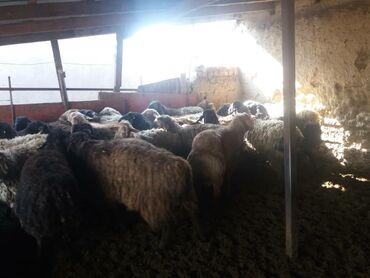 Бараны, овцы - Дополнительно: Племенные - Бишкек: Продаю   Баран (самец)   Эдильбаевская   На забой   Племенные