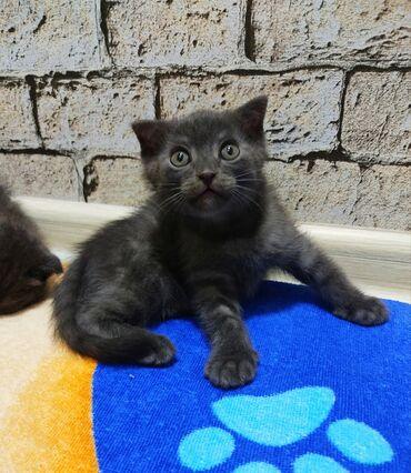 Животные - Кыргызстан: Продаём шотландских вислоухих котят!возраст два месяца,мальчик и девоч