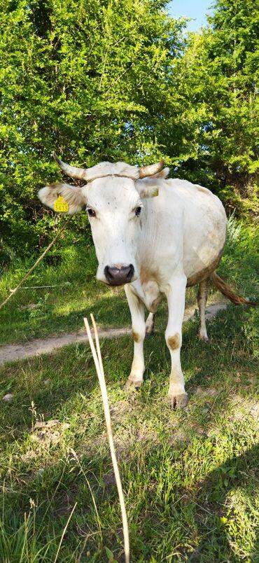 Животные - Кызыл-Туу: Продаю | Корова (самка) | Швицкая | Для молока | Не стельные