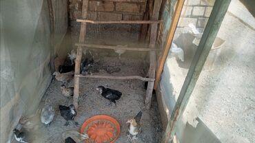 Животные - Милянфан: Продаю Карликовых декоративных цыплят 12,3 месячные цена 300 сомов