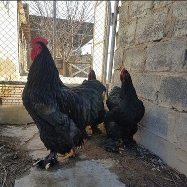 Животные - Кыргызстан: Продаются большая семья чёрного кохинхина, 27 кур и 3 петуха, вся