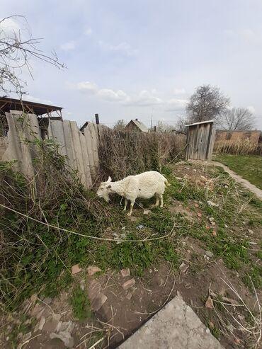 Дойная коза 2эчки 3 улак бирөөсү ыргаачы биринчи туут #коза #коза