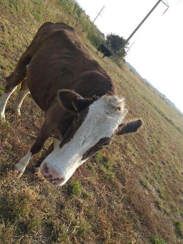 15 объявлений | ЖИВОТНЫЕ: Продаю | Тёлка | Голштин | Для молока