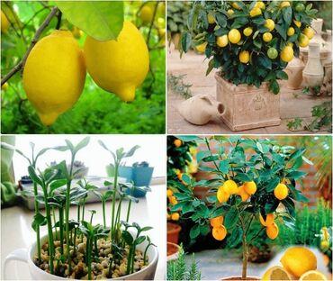 Kuća i bašta | Arandjelovac: Cena:550din/5 semenkiRadi se o sorti divljeg citrusa, koji izdržava