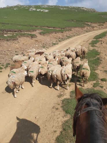 quzular - Azərbaycan: 80 quzudu 70 erkek 10 disi Dashkesenden yaylaqdan gelib Xawbulaq yayla