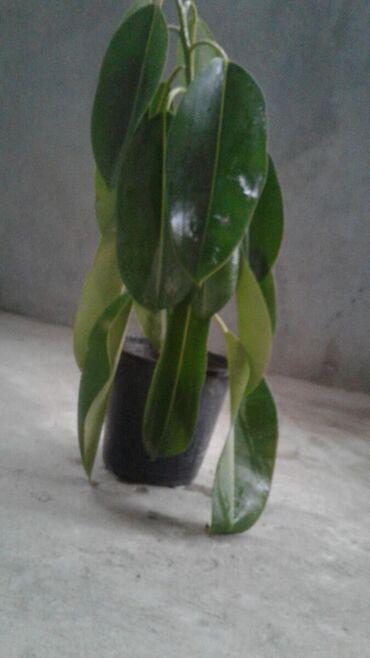 Fikus satılır.Dekorativ bitki Gəncə