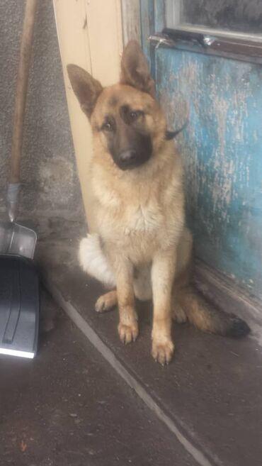 Животные - Кыргызстан: Немецкая овчарка. Кобель 9 месяцев. Все прививки сделаны. Умный. Хоро
