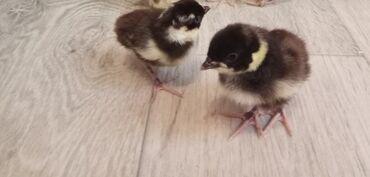 Продаются фазанята - Румынской породы 1 шт по 320 сомов. Суточные