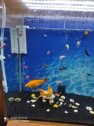 Akvarium uzunu80, hundur60, eni40, qizdirici, tebii bitki, qara qrunt