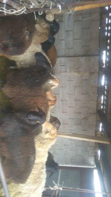 Продаю | Овца (самка)