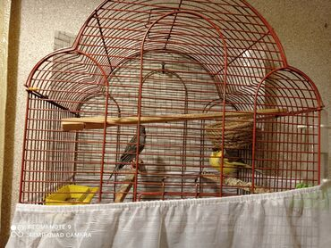 bulbul qusu - Azərbaycan: Bülbül satılır erkək,dişi