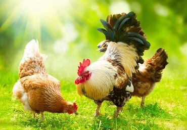 Животные - Чат Кёль: Продаю | Петух | Для разведения