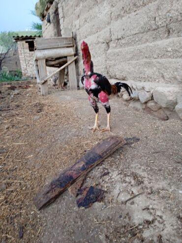 Животные - Кара-куль: Птицы