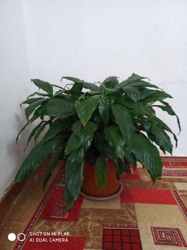 Комнатные растения - Кыргызстан: Женское счастье