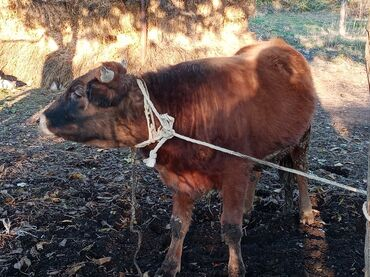 emusiya qiymeti - Azərbaycan: Satılır 110 kilo cekisi var xacmaz erazisindedir isteyen buyurub burda