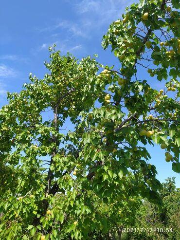 Отдых на Иссык-Куле - Сокулук: Оптом и розницу абрикосы  Шалах  Обрикос