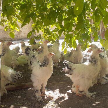 куплю-курей-брама в Кыргызстан: Брама гигант 2 айлык