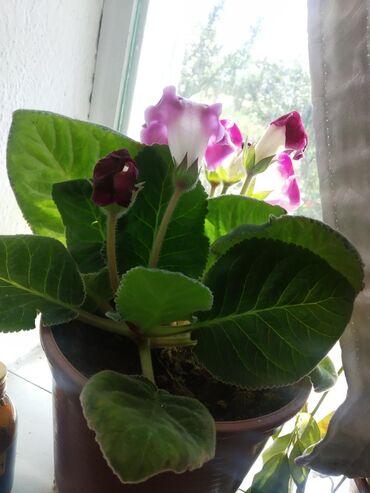 Комнатные растения в Кок-Ой: Целозия есть и маленькие