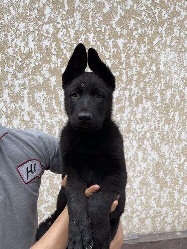 собаки сколько стоит в Кыргызстан: Продаю щенят!!! Восточно Европейских Овчарак, с родословной, прививкой