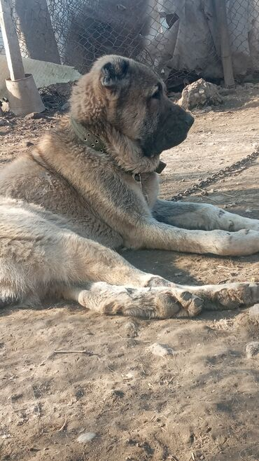 Животные - Гёйтепе: Lezgi iti satlir reyal aliciya endirimde olacaq