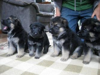 German Shepherd Dogs and Puppies for sale σε Chios