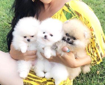 Λατρευτά κουτάβια φλυτζανιών τσαγιού Pomeranian προς πώληση.Εκπλήξτε