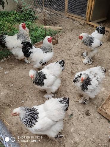 heyvan bazari keci - Azərbaycan: GÖRDÜĞÜNÜZ Heyvanların yumurtası