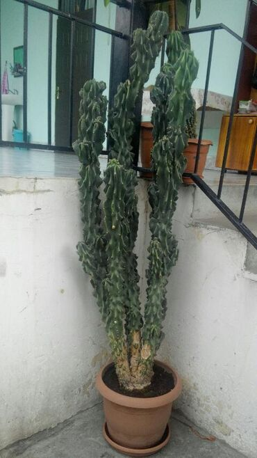 Otaq bitkiləri Zaqatalada: Ofis gülü